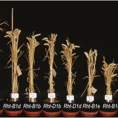 Mutation du blé