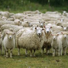 moutons-2bcc8-57fab.jpg