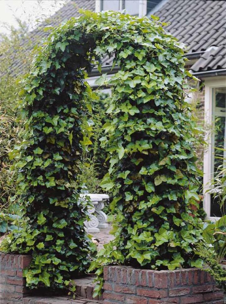 Le lierre en massifs ou cl ture parc naturel r gional for Plante grimpante ombre feuillage persistant