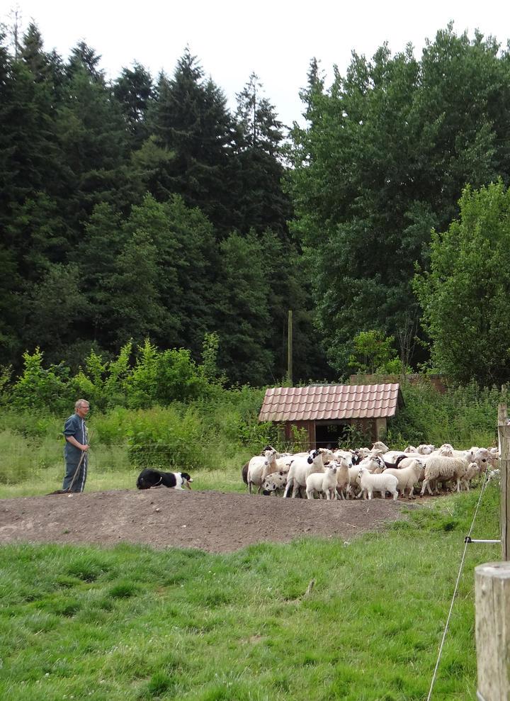 moutons la noue