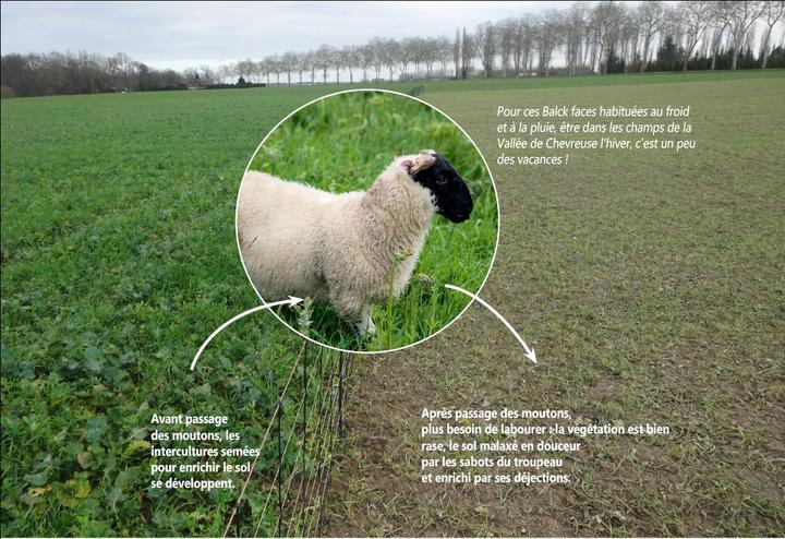 mouton dans les céréales