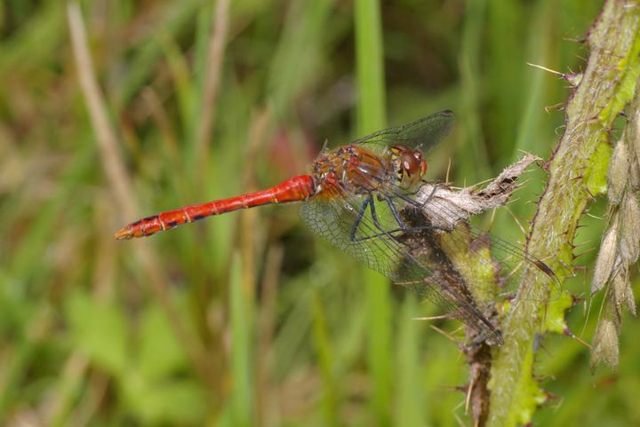 libellulesympetrum_sanguineum_8_bloedrode_heidelibel_male_saxifraga-kees_marijnissen.jpg
