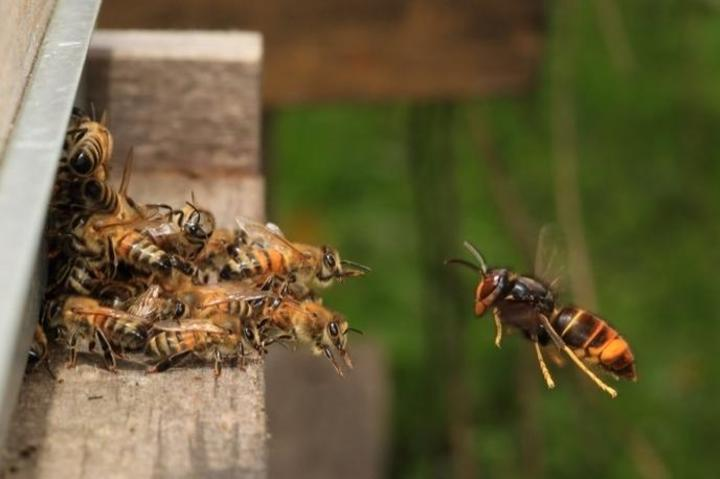 attaque abeille du frelon asiatique